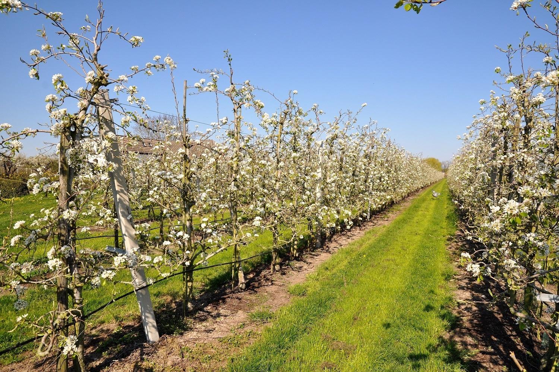 BOB leefomgeving groen, bloeiende fruitbomen in de Betuwe
